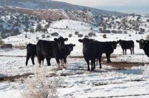 Black Cattle in Snow