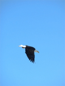 a bald eagle flies