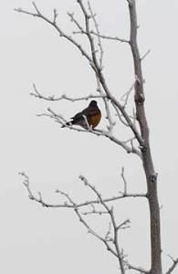 Cold robin in a barren reww