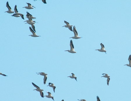 Migrating pelicans near Fruita, Colorado